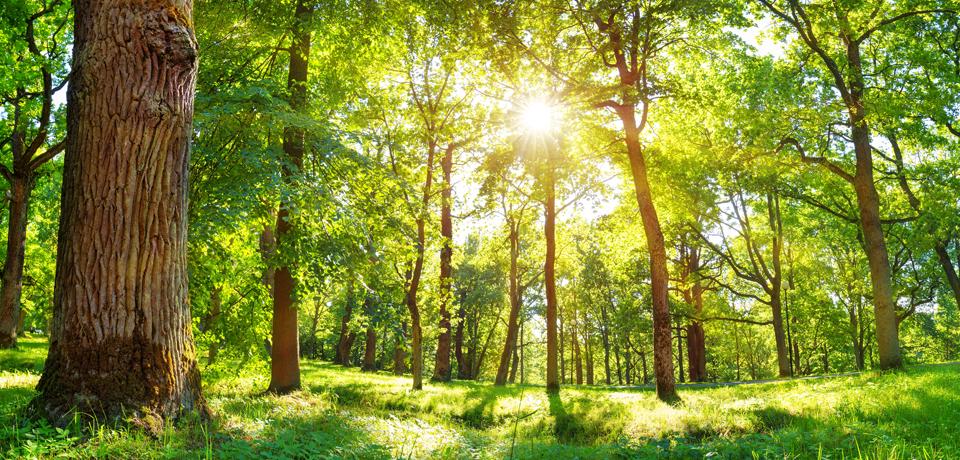 Sunshine Peeking Through Forest