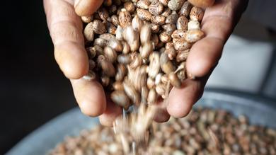 Arkema Castor Beans